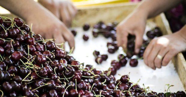 URGE Projesi Türk kiraz ve üzümüne Uzakdoğu pazarını açtı