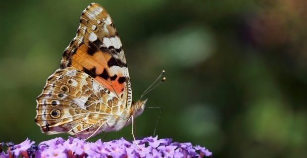 Binlerce Kelebek Türkiye Üzerinden Göç Ediyor