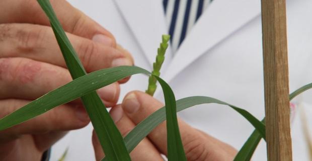 Altın değerindeki 'Ahmet Buğdayı' koruma altına alınıyor
