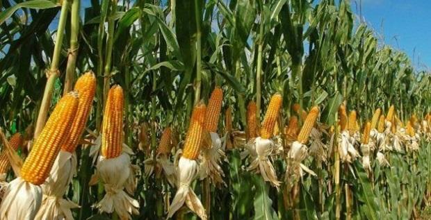 Mısır ve soya fasulyesi üretimi yükselecek mi?